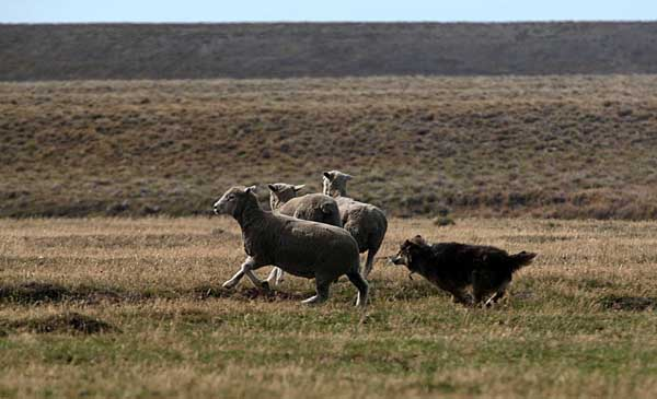 El evento central lo constituye el concurso de Perros Ovejeros en el que los concursantes y sus perros trabajan para guiar un grupo de ovejas por un recorrido con obstáculos en el menor tiempo posible.