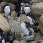 Pingüinos penacho amarillo cambian su plumaje en la costa