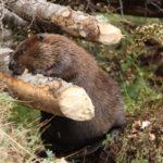 Trabajan en la erradicación del castor