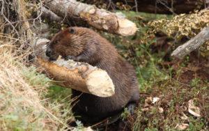 Estiman que en la provincia hay más de 120 mil castores.
