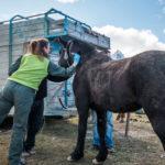 Realizaron el control de chipeo de los caballos capturados