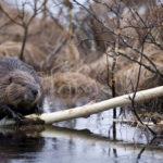 Comienza la tarea de erradicación del castor en la provincia