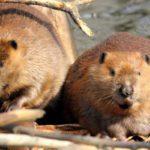 Los castores arrasan con Tierra del Fuego al construir miles de diques