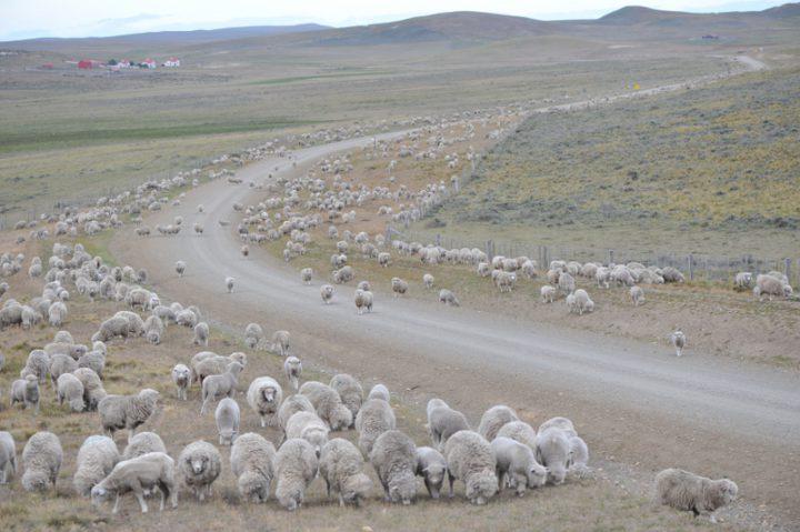 Tres mil ovinos desaparecieron en el mes de septiembre del establecimiento rural Viamonte.