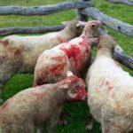 Los perros asilvestrados ponen en jaque a la producción ovina
