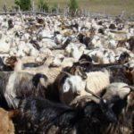 La Patagonia mejora su sanidad ganadera
