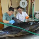 Varamiento masivo de delfines en Puerto Madryn: científicos del CONICET participaron del rescate de 19 ejemplares