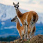 Fundación Vida Silvestre y otras asociaciones se oponen a la caza de guanacos