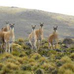 Bertone vetó la ley que habilitaba la caza indiscriminada del guanaco