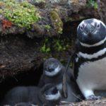 Descubren una nueva colonia de pingüinos de Magallanes