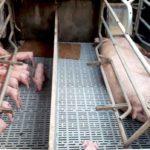"""""""Criar cerdos es nuestra pasión"""""""