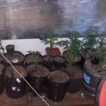 Decomisan 13 macetas con dos brotes pequeños de marihuana